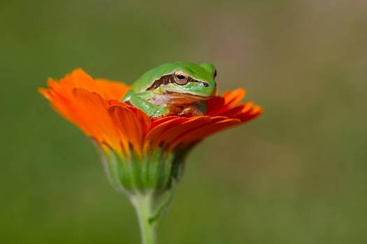 baby tree frog