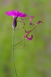 cone head mantis/empusa fasciata