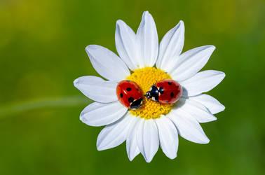Two ladybirds,Coccinella septempunctata on a daisy