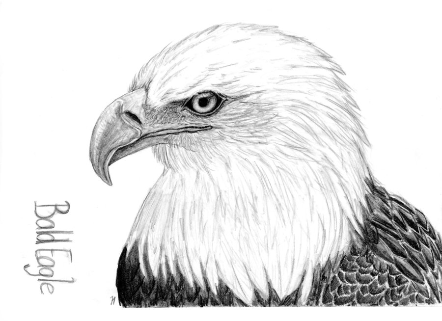 bald eagle drawing by montieze d5ekm1b by wolfclone12 on deviantart