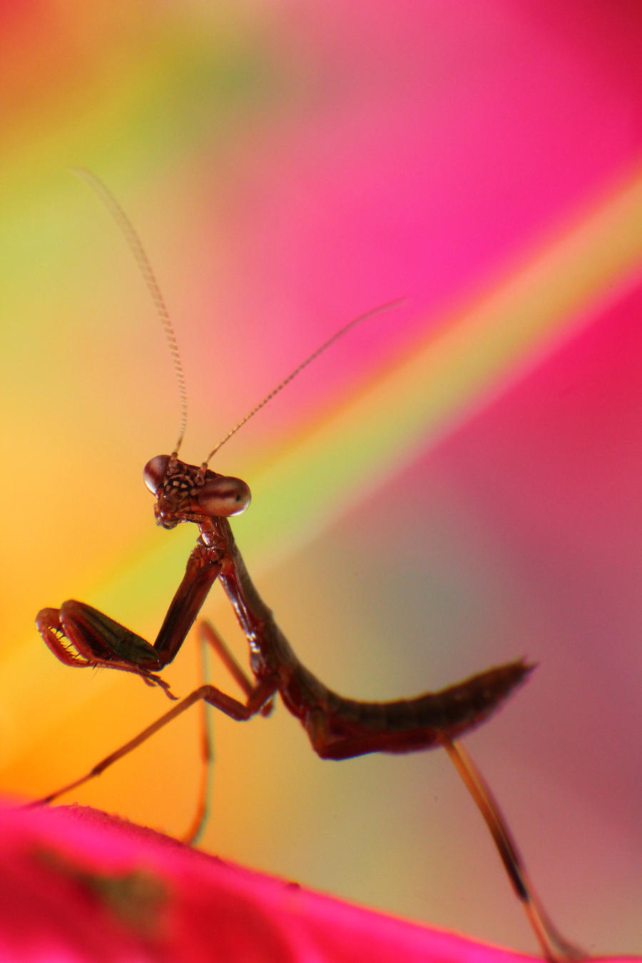 Macro-Praying Mantis4 by RichardjJones