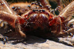 Huntsman Spider being eaten