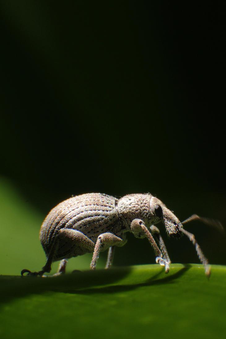 Elephant Weevil? by RichardjJones