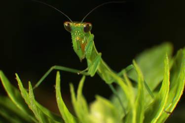 Macro-Mantis by RichardjJones