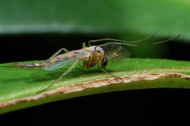 Macro Male Mosquito by RichardjJones