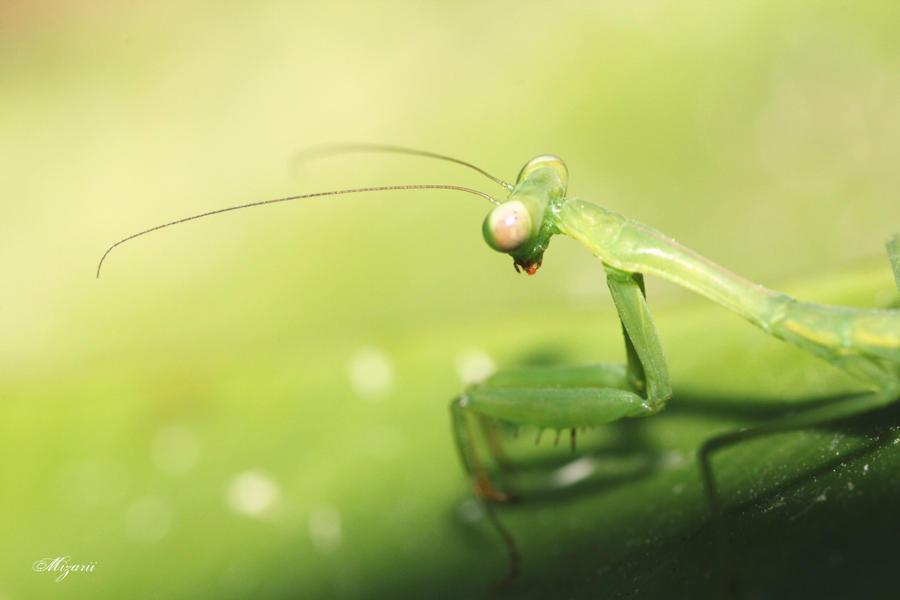 Mantis by MizarII