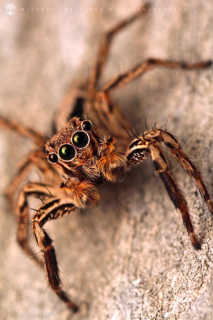 Jumping Spider III by MizarII