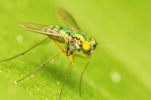 Green Fly by MizarII