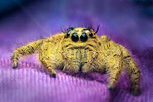 Yellow Jumping Spider by MizarII