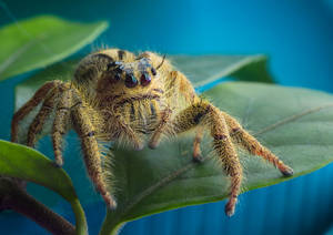 Yellow Jumping Spider II