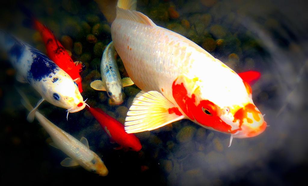 Beautiful koi fish by nylten on deviantart for Beautiful koi fish