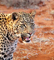Young leopard by psychostange