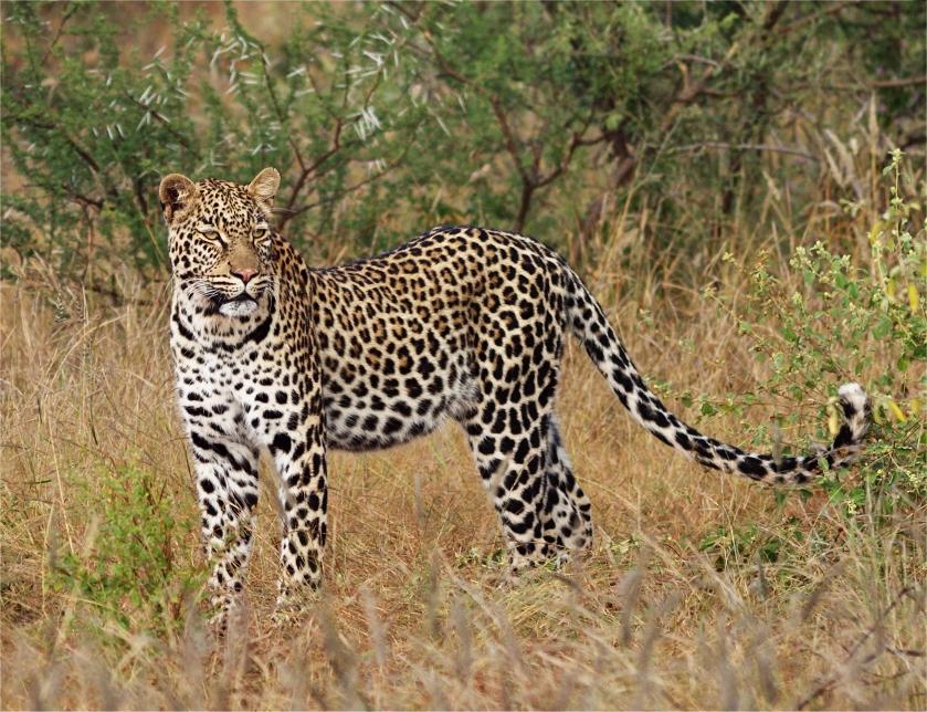 Leopard Leopard by psychostange