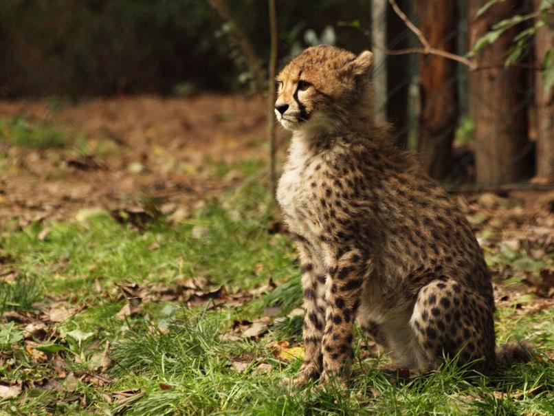 Regal Cheetah Cub by psychostange