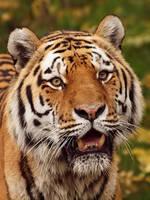 Tiger by psychostange