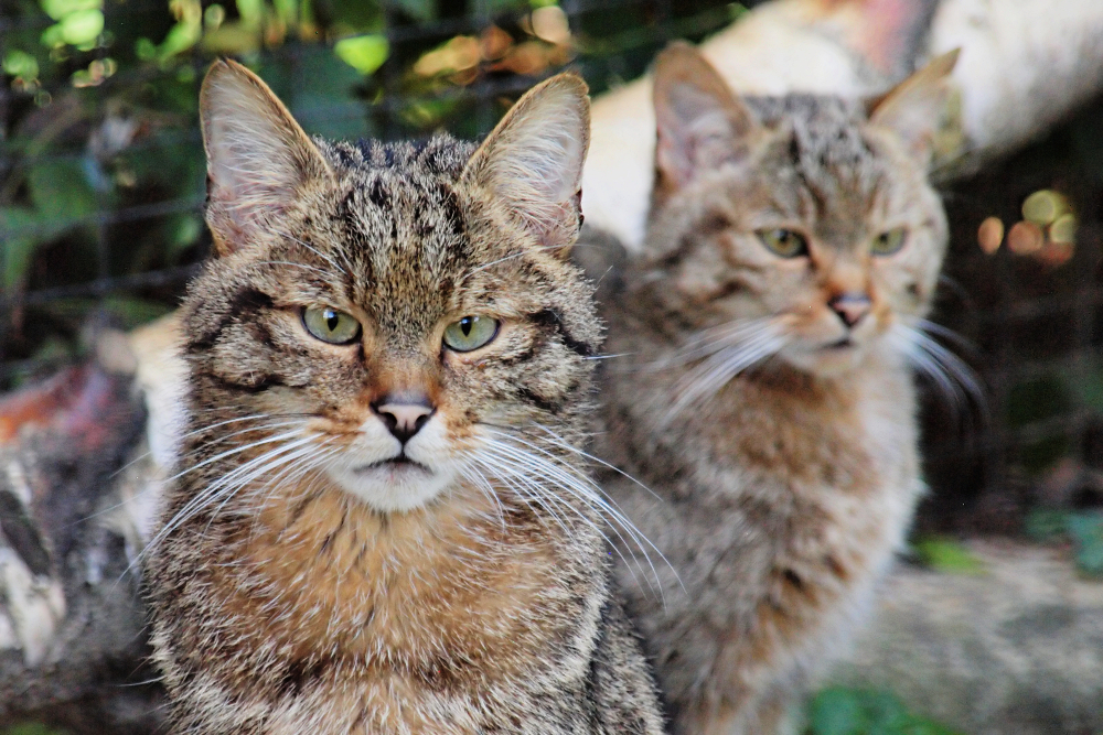 European wildcat by psychostange