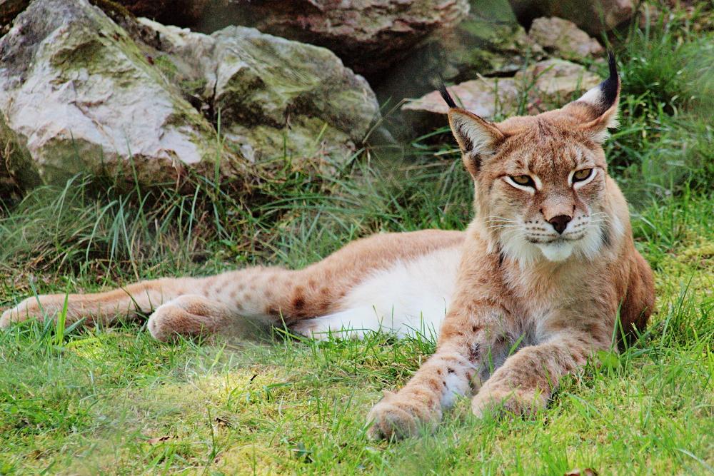 Lynx by psychostange