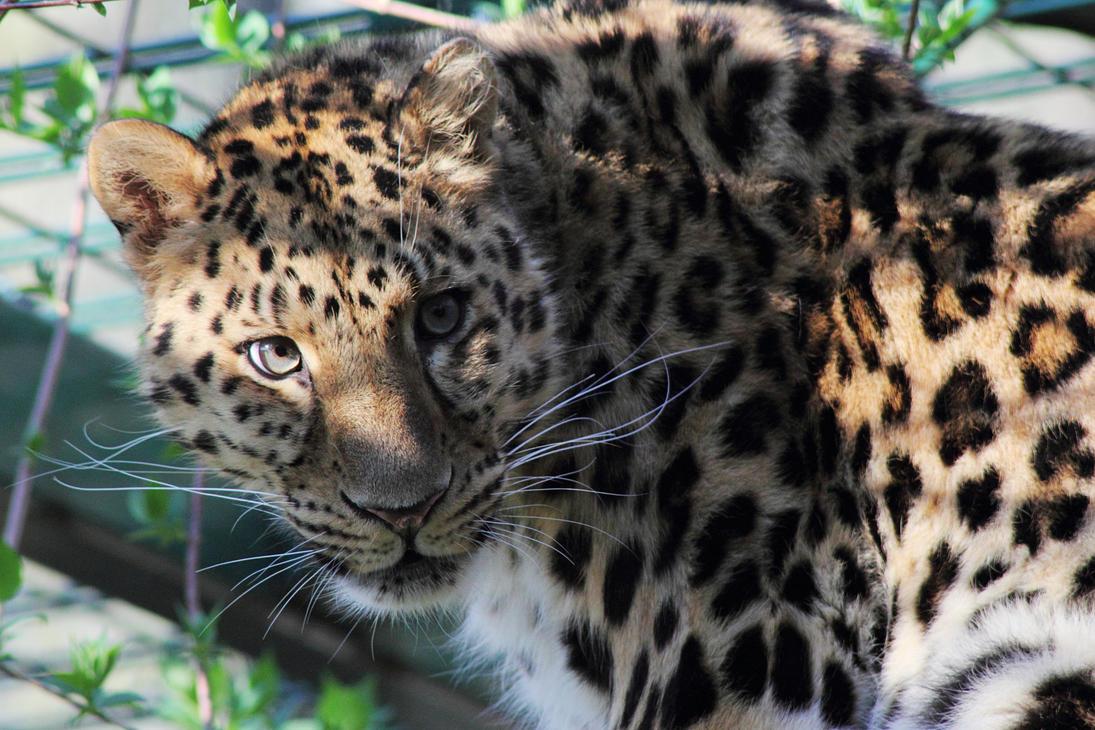 Amur Leopard by psychostange
