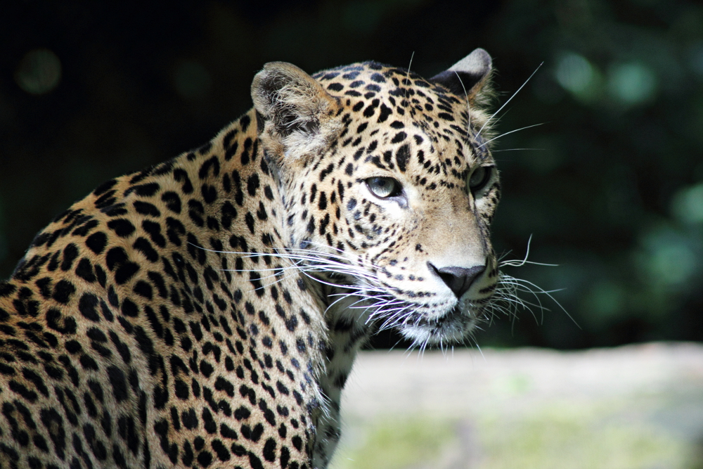 Sri Lanka Leopard by psychostange