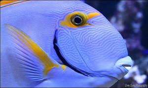 Eyestripe surgeonfish. by Evey-Eyes