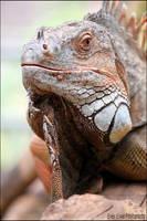 Iguana Jones. by Evey-Eyes