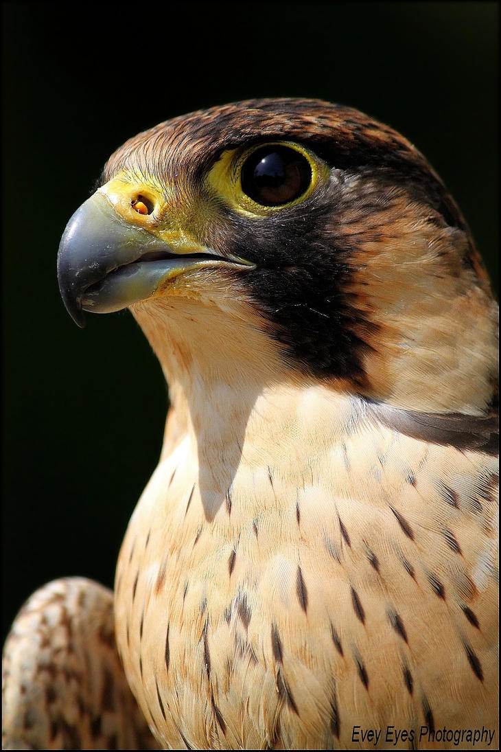 Barbary falcon. by Evey-Eyes