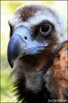 Cinereous vulture.