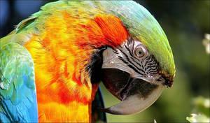 Harlequin macaw.
