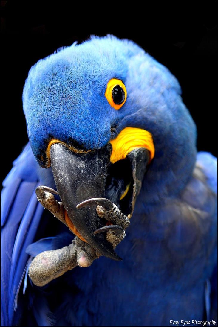 Hyacinth macaw. by Evey-Eyes