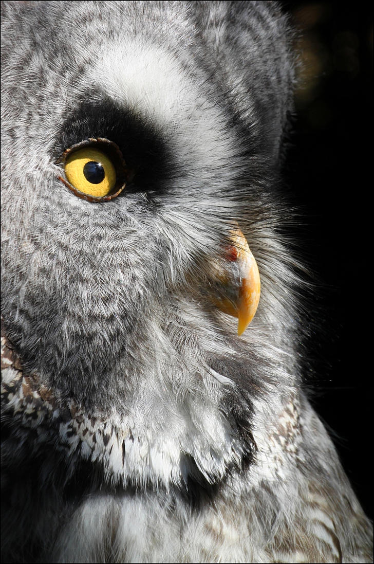 Great grey owl. by Evey-Eyes