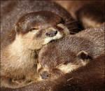 Oriental otters.