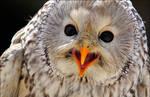 Ural owl.
