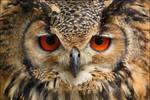 Indian Eagle-Owl.