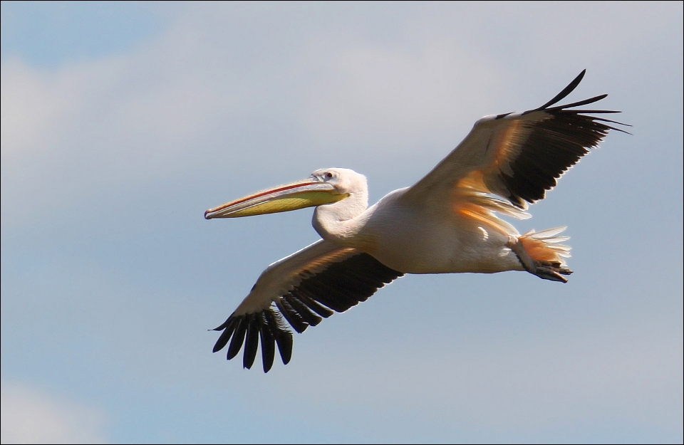Pelican. by Evey-Eyes