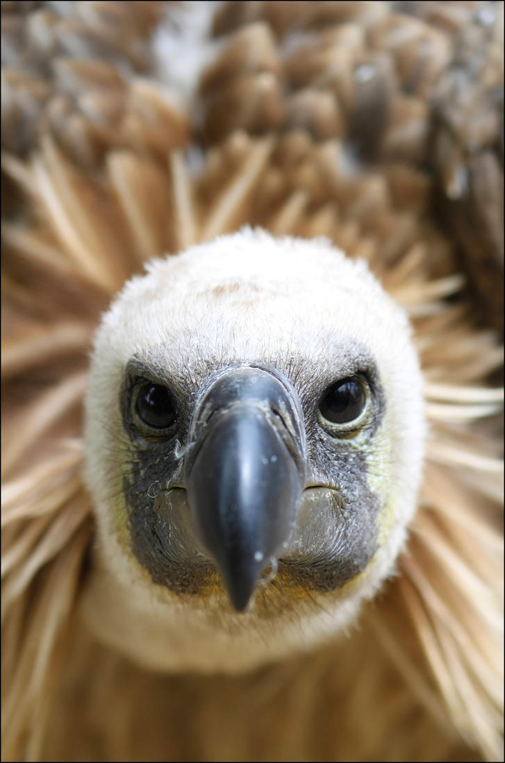White-backed vulture. by Evey-Eyes