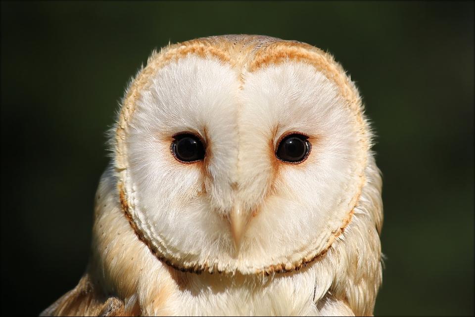 Barn owl. by Evey-Eyes on DeviantArt