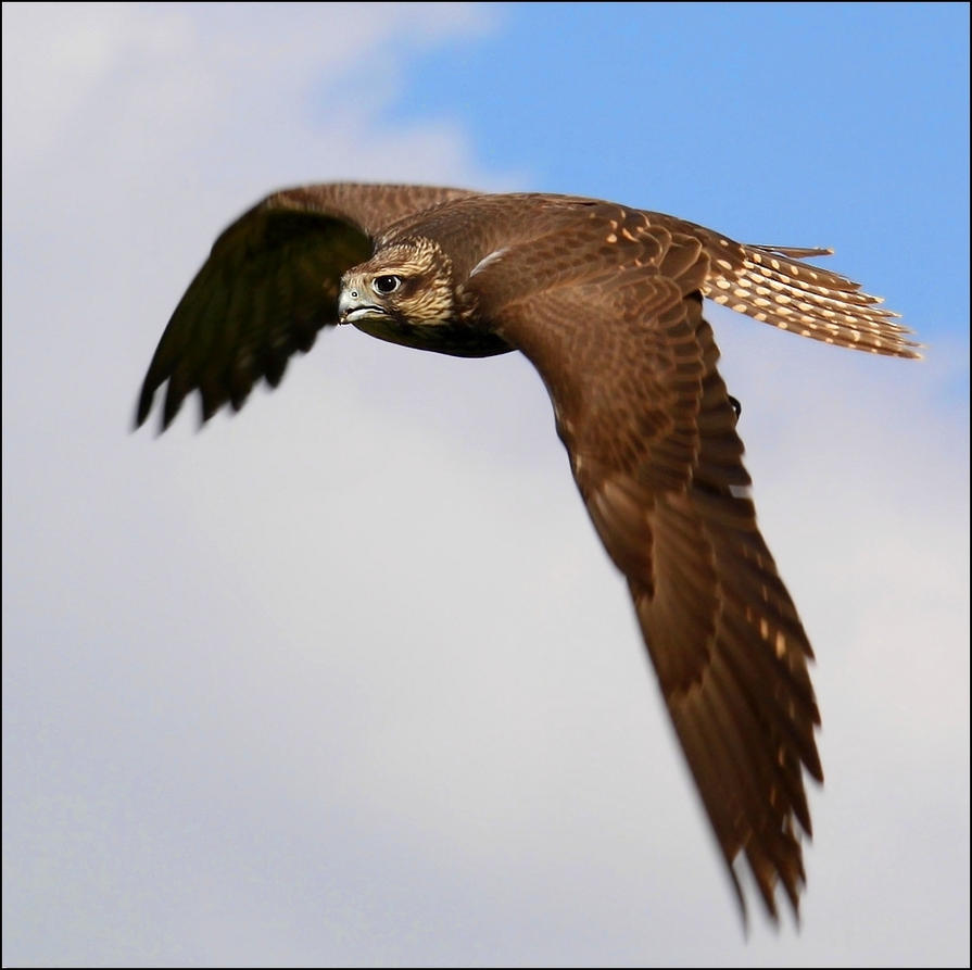 Saker falcon. by Evey-Eyes
