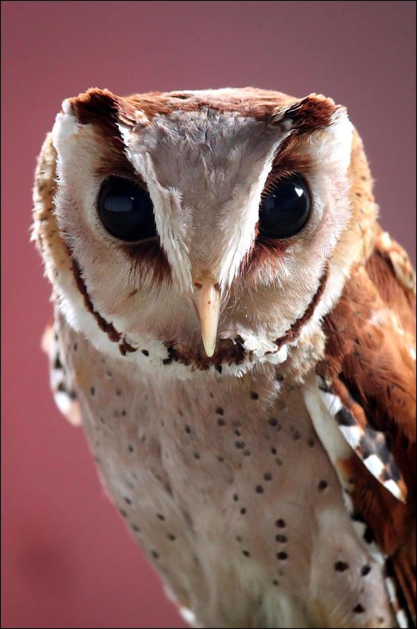 Oriental bay owl.