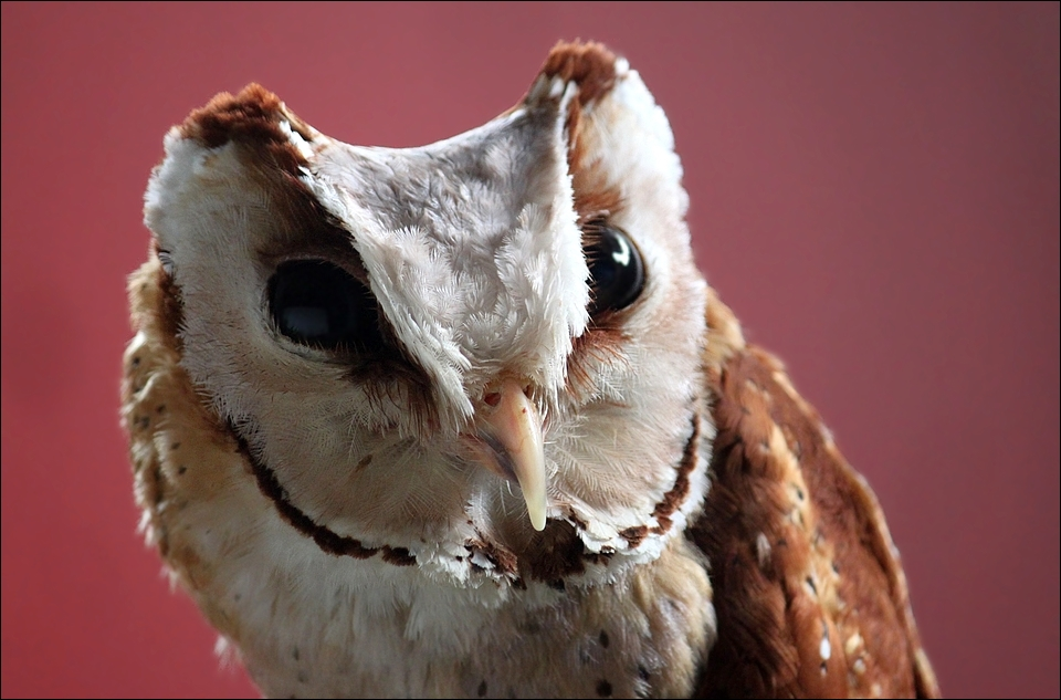 Oriental bay owl. by Evey-Eyes