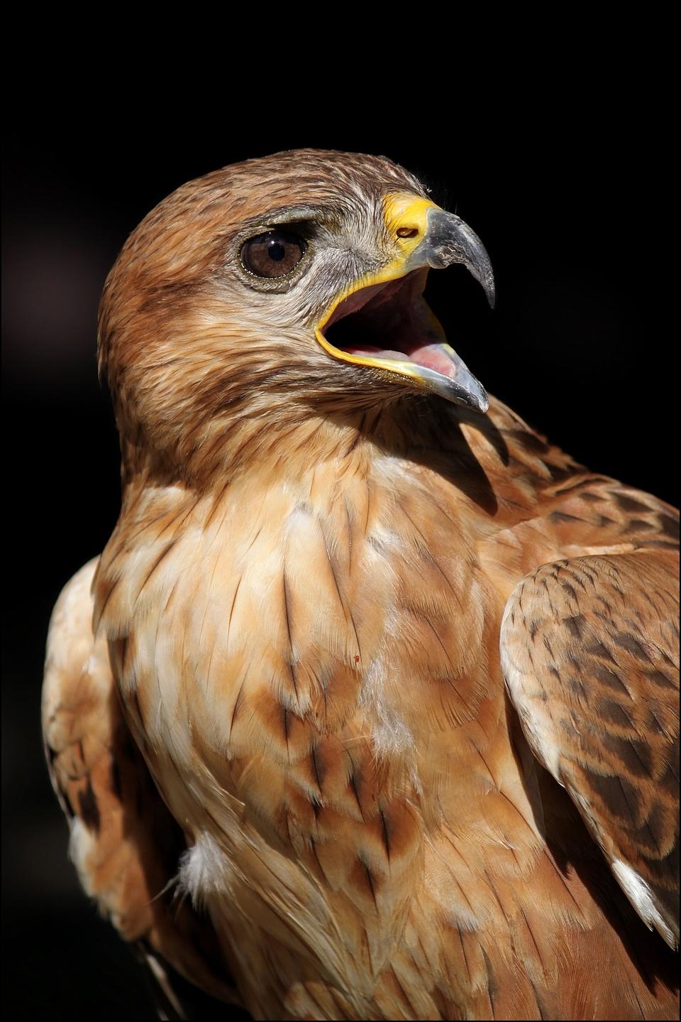 Long-legged buzzard. by Evey-Eyes