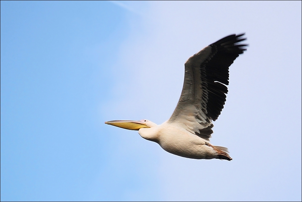 Pelican. by Evey-Eyes