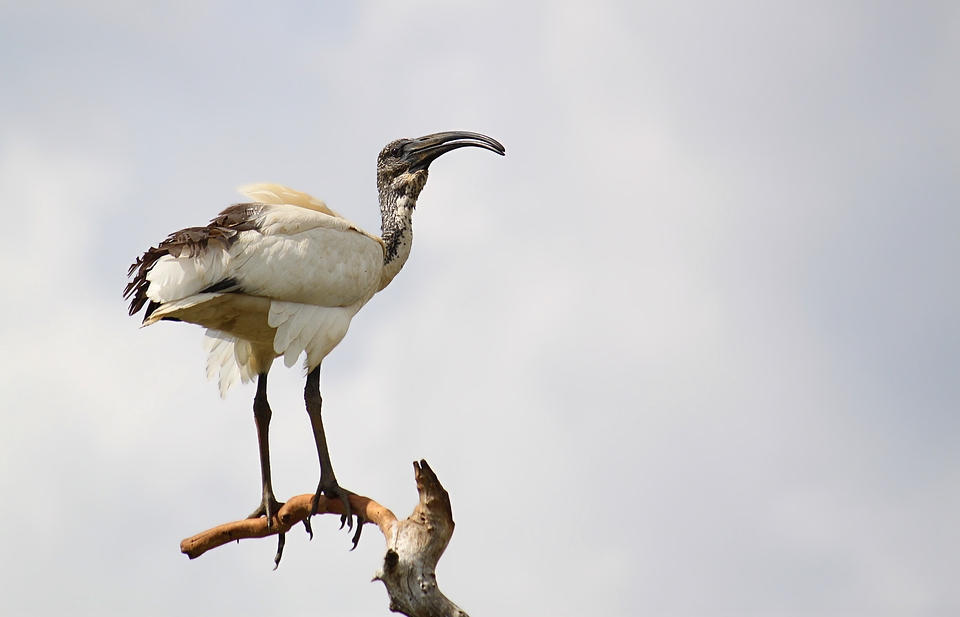 African sacred ibis.