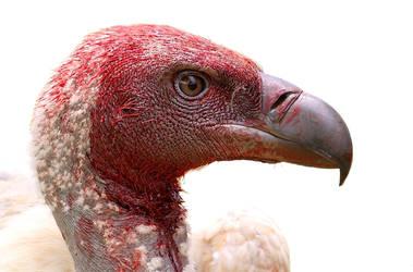 Cape Vulture.