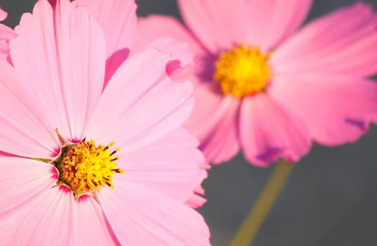 Sweet Pink.