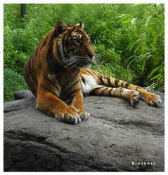 Tiger by Ninoness