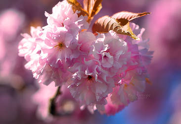 Dreaming of Pink Blossoms II by HondaFox