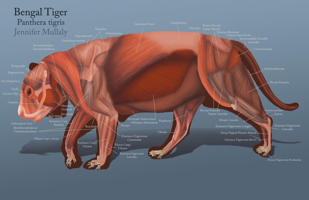 Tiger Muscles by peanutbutterjenny on DeviantArt