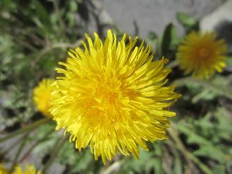 Dandelion / Maskros 6 by ingvefrej