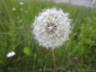 Dandelion / Maskros 9 by ingvefrej