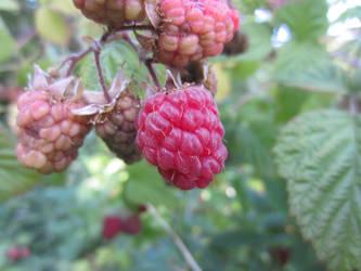 Raspberry / Hallon 1 by ingvefrej